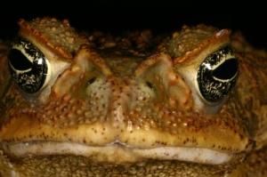 Bufo marinus, Cane Toad 2, Lydia Fucsko